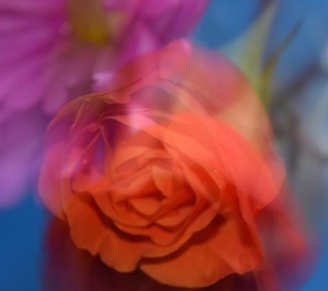 Fallen Rose